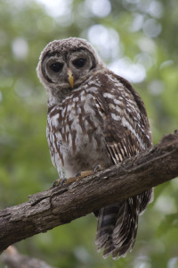 A young barred owl across from Lochwood Park